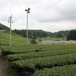 田中 八千代さん 広がる茶畑