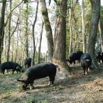 田中 武雄・陽子さん 薩摩黒豚の放牧