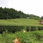 天香里(あかり)茶畑で深呼吸