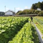 田舎のお百姓さん 白菜、水田ゴボウ、レタス、キャベツetc・・・
