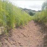 農家民宿 ぷちファームアスパラ畑の様子